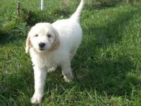 We have Beautiful English Cream Goldendoodle Puppies