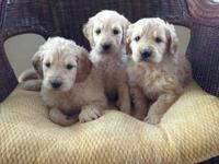 Gorgeous F1 goldendoodle pups now ready! The pups are