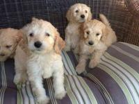 Gorgeous F1 standard goldendoodle pups are now ready!!