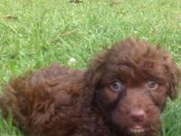 Goldendoodle first generation pups ready now ! Vet