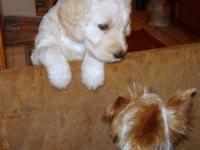 . Outstanding male and women Goldendoodle, 8 weeks.