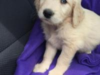 We have 3 beautiful male F1 golden doodle pups left.