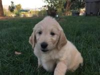 Very cute and beautiful. Goldendoodle pups Male and