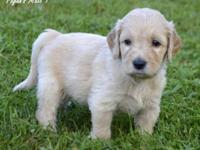 We now have gorgeous F1 Goldendoodle Puppies ready for