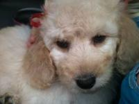 Willow is a beautiful F1b Goldendoodle. She is