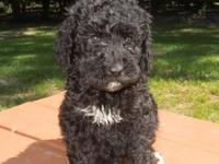 This is a great F1B Goldendoodle. The mother is a