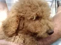 Six fluffy playful little red Golden Doodles...shots,