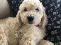 Male and Female Goldendoodle puppies. sweet