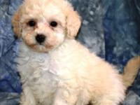This wonderful puppy has a predominately non-shedding,