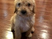 Meet Cash! He is an irresistible F1B goldendoodle. His