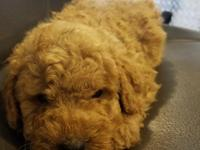 Miniature golden doodles for sale. These adorable