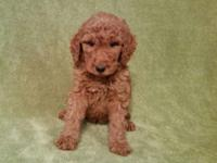 "We have a Beautiful Litter of ""Red"" F1b Goldendoodle"