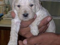 Stunning GoldenDoodles ... 2 females ... extremely