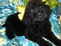 Goldendoodles 2 black females & 1 black male 11 wks old