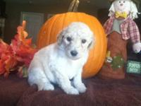 Our brand new beautiful F1b Goldendoodles are on the
