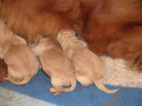 We have two litters of Goldendoodles, one of f1; the