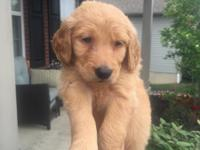 We have a litter of first generation goldendoodles. The