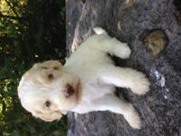 Our F1 Goldendoodle puppies are born and raised in our