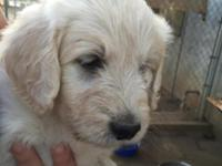 Goldendoodles . Male and females. Ready for good homes
