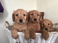 We have 10 F1 Goldendoodle puppies males and ladies.
