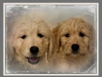 F1 & F1b Goldendoodles are ready for their new homes.