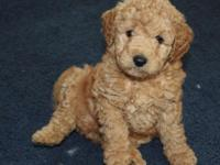 I have a litter of F1B Standardsize Goldendoodles due