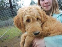 We have adorable goldendoodle puppies available for