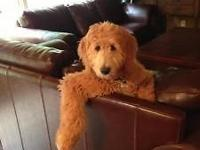 Up for adoption Goldendoodle. These are the teddy bear