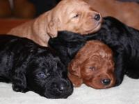 Wonderful F1 Goldendoodle Puppy For Sale Located in Eau