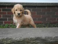 We have a litter of F1-B golden doodle puppies. There