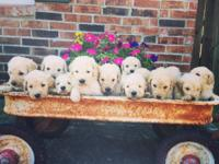 Accepting deposits on our upcoming Goldendoodles. Born