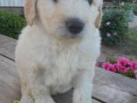 Goldendoodle MALE puppies for sale. Please check my