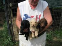 Goldendoodle puppies. DOB-6-17-15. Mom is AKC small