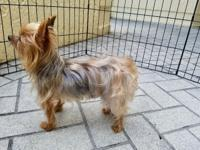 Goldie is a 12 year old, 3.5 lb. yorkie. Loving to all.