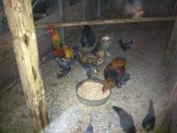 I have two pair (2 hens 2 roosters) of Gold Lace Cochin