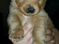 Beautiful Golden Ret/Labrador Ret mix female puppy, 8