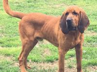 Gomer is a handsome 2 year old Bloodhound that is now