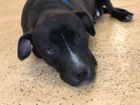 gomez  is a 2 year old lab mix  adoption fee is