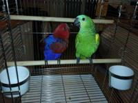 Lots of cages and birds available Baby S.I eclectus
