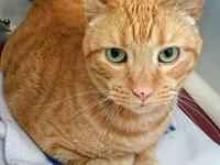 Goober's story DSH Orange Tabby 9 yr neutered male