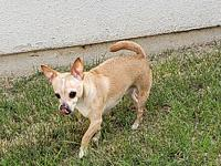 Gooch's story Gooch is a three year old Chihuahua.