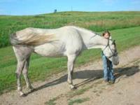 6 year old, broke blue-grey mare. Easy to catch,