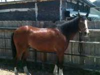 8 year old gelding Quarter Horse for sale. He is gentle