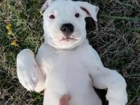 good looking american bulldog puppies ready for new