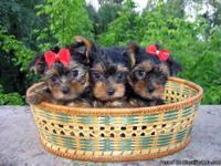 Good Looking Home Raised Tea-Cup Yorkie Puppies For