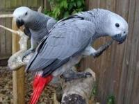 I have pair of african grey parrots ready to to be