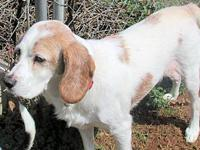 Goofy's story Goofy is a male white-and-tan Beagle/
