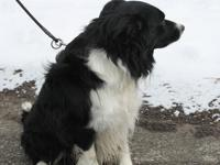 Meet Goose. He is a four year old male Border Collie