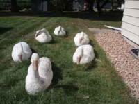 snow goose decoys Classifieds - Buy & Sell snow goose decoys across