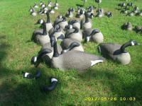 """42"""" Goose Decoy Shells 12es $200"""